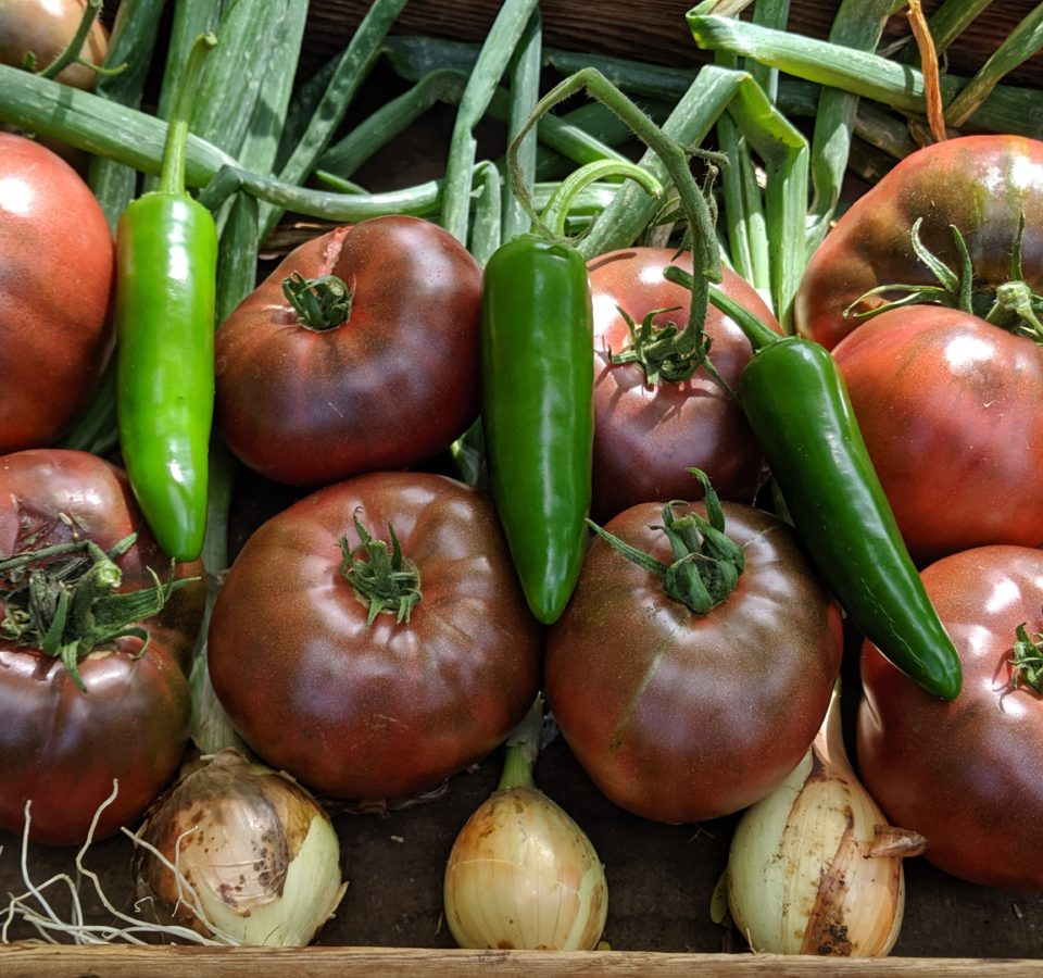 Freshly-harvested white onions, Purple Cherokee tomatoes, and jalapeno peppers in a garden basket.