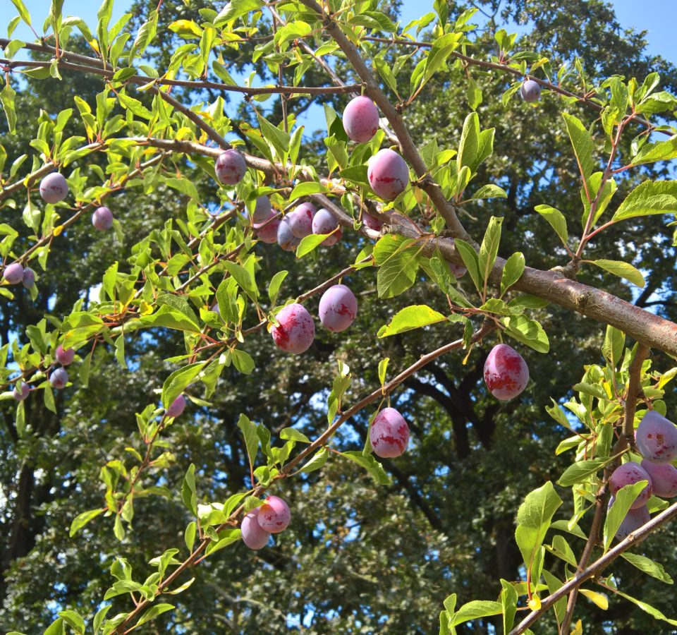 Bright sunlight illuminates a branch of ripe plums on the tree, in front of a towering backdrop of dark-leaved oak trees.