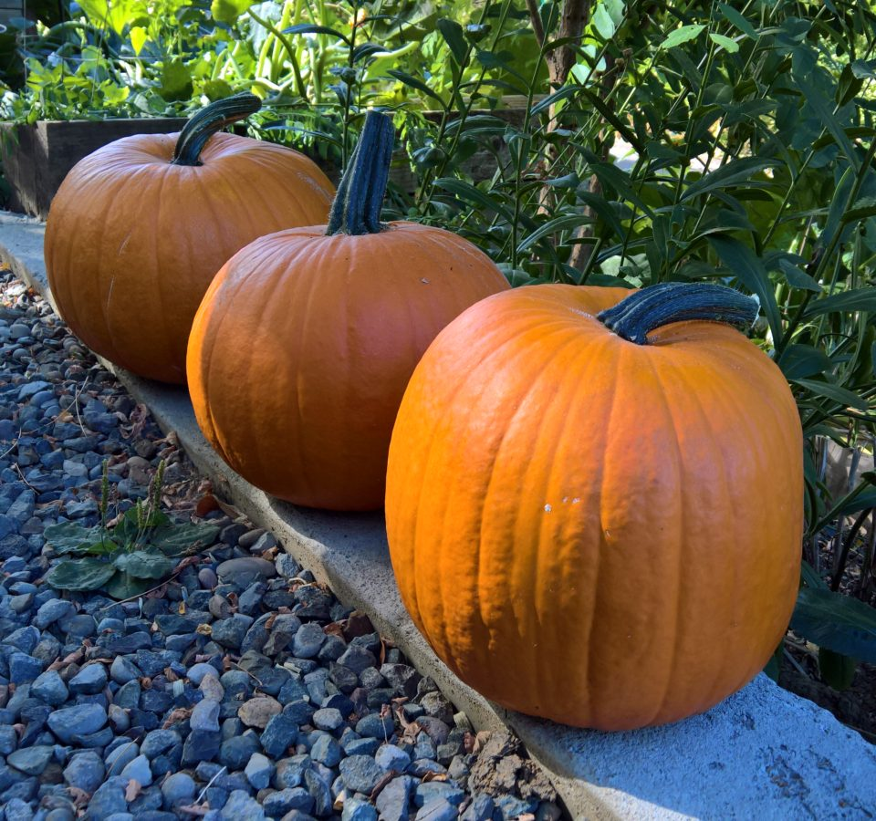 Three freshly-harvested pumpkins sit on a concrete curb between a gravel pathway and a backdrop of green plants.