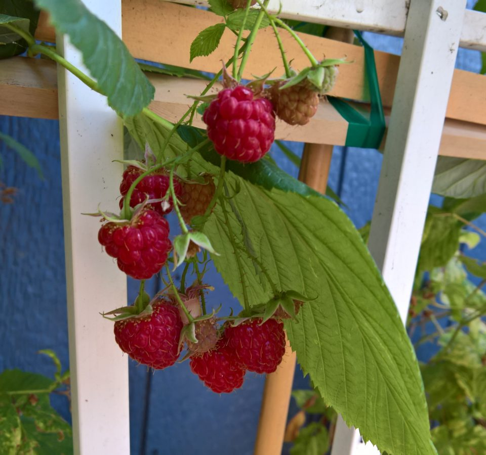 Red raspberries growing on a vine hanging from a wood trellis in front of a blue wall.