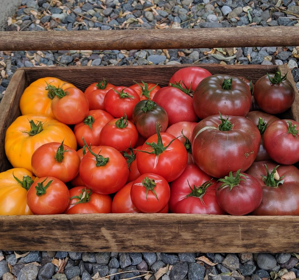 A wooden basket sitting on a gravel pathway is filled with a rainbow of heirloom tomatoes, from Dr. Wychee's Yellow to Purple Cherokee.