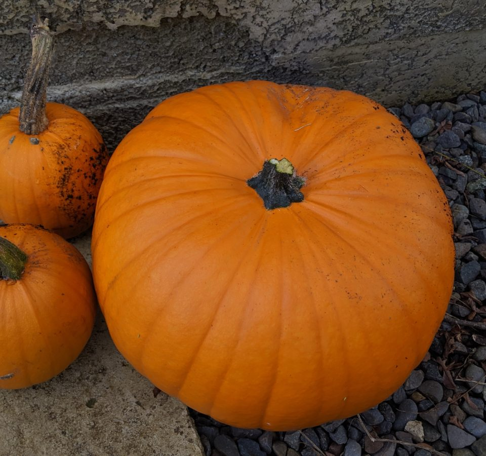 One medium and two small orange freshly-harvested pumpkins sit on a concrete and gravel pathway in front of a concrete wall.