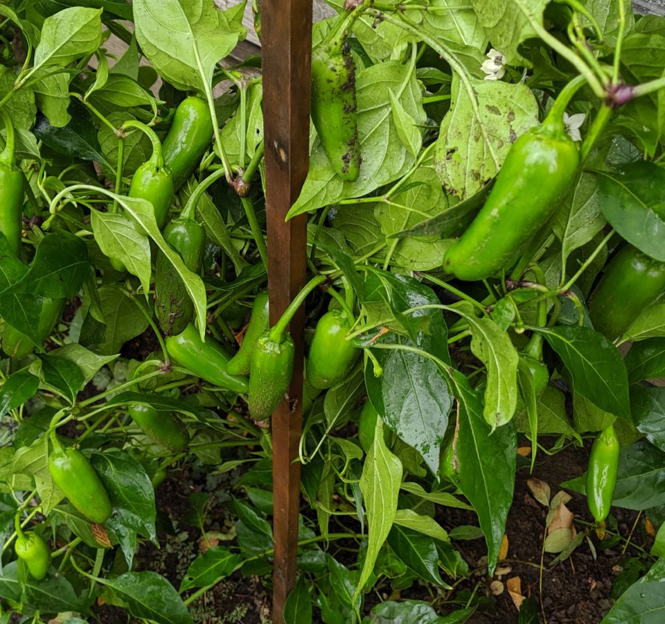 Dozens of rain-soaked green Jalapeno peppers grow on a plant supported by a wooden stake.